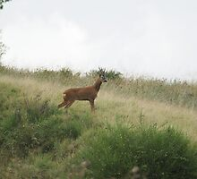 Roe Deer - Mixenden, Halifax, UK by Andy Beattie