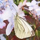 Butterfly- Green Veined White by sarnia2