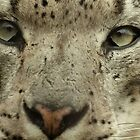 Snow Leopard Close Up by Thomas Byron