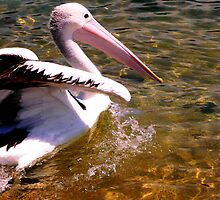 Pelican by Janette Anderson