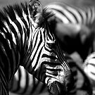 Zebra Crossing by Matt  Streatfeild
