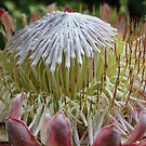 Beautiful protea by Bronwyn Munro