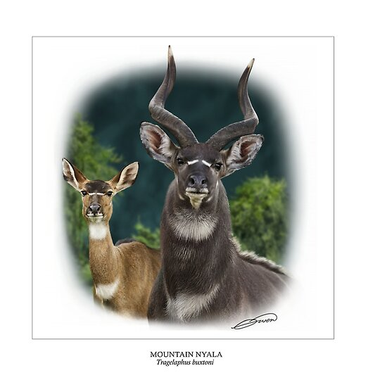 MOUNTAIN NYALA Tragelaphus buxtoni #1 ( NOT A PHOTOGRAPH) PLEASE READ BLURB by owen bell