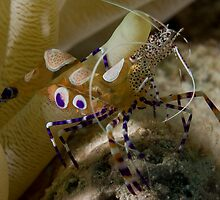 Spotted Cleaner Shrimp by tkrebs