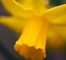 Daffodil... by Malcolm Garth