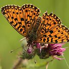 2and Generation Pearl Bordered Fritillary by Robert Abraham