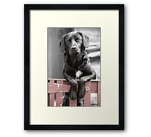 Black Labrador at the Gate, Portmahomack, Scotland, UK, Europe Framed Print