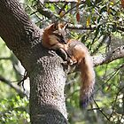 Grey Fox in a Tree by Paulette1021