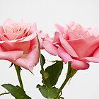Pink softness by Steve plowman