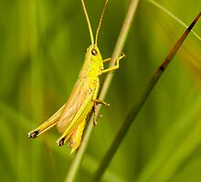 Large Golden Grasshopper by Robert Abraham