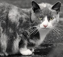 Cat drinking from Puddle, Strathpeffer, Scotland by simpsonvisuals