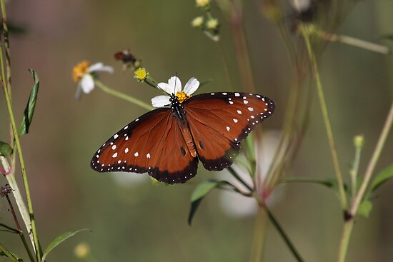 Queen Butterfly by Gail Falcon