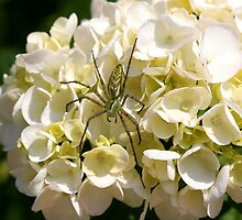 Hydrangea Spider Soldier by DARRIN ALDRIDGE