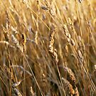 Golden Oats by StopGo