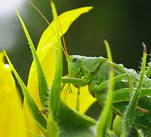 Grasshoper after the rain by Régis Charpentier