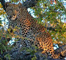 Elusive Cat of Africa by Richard Shakenovsky