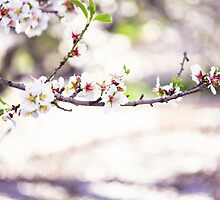 Almond Blossoms by ╰⊰✿Sue✿⊱╮ Nueckel