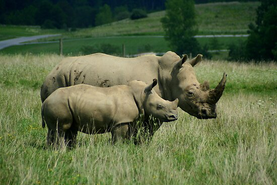 Southern White Rhino Mother and Baby by Laurel Talabere