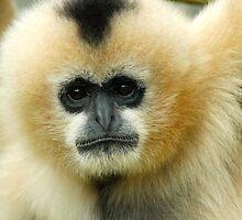 White-cheeked Gibbon - (Hylobates leucogenys) by Robert Taylor