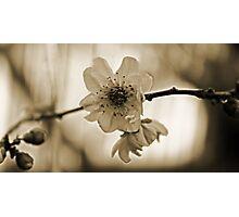 Cherry Blossom in Sepia  Photographic Print