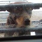 Kelpie - Through the Ute window by Cathy McAdie