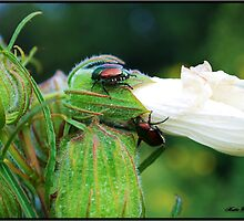 Japanese Beetles by Mattie Bryant