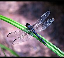 Dragonfly by Mattie Bryant