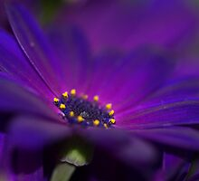 Vibrant Purple Daisy by kelleygirl