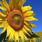 Sunflowers as far as the eye could see... by hjaynefoster