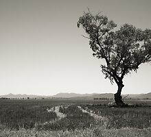 Solo Tree - Blackville, New South Wales by meelin