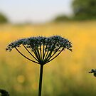 cow parsley - hawridge, buckinghamshire, england by stupert