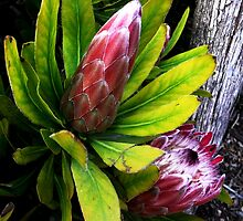 Protea by Janette Anderson