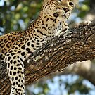 Leopard in repose - Okavango Delta, Botswana. by Sharon Bishop
