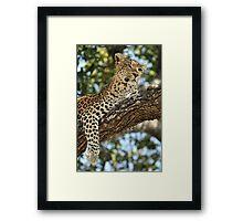 Leopard in repose - Okavango Delta, Botswana. Framed Print