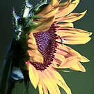Sun On The Sunflower by KatsEye