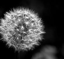 Dandelion seed head in Black and white by Chris Day
