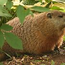 Fat Woodchuck by Raider6569