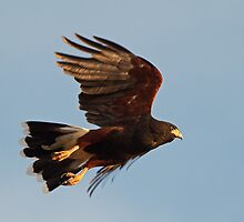 0814101 Harris Hawk by Marvin Collins