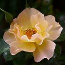 Iridescent Rose by FoxSpirit