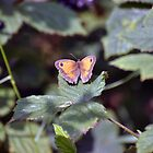 Gatekeeper Butterfly - Woolston Eyes by Chris Monks