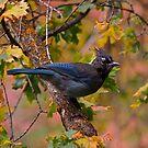 Autumn Jay by FoxSpirit