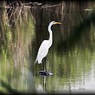 Egret by Dennis Cheeseman