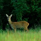 Roe deer  by Russell Couch