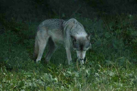 Timber Wolf by JTrask