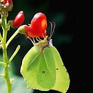 Brimstone Butterfly by relayer51