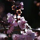 Backlight on Blossom by Joy Watson