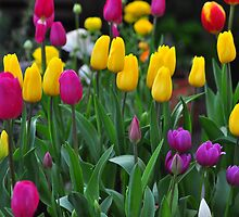 Tip Toe Through the Tulips by Rob Moffatt