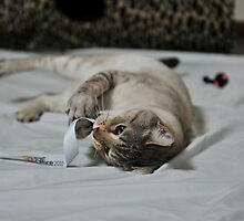 Raaji playing with toys. by BengalCats