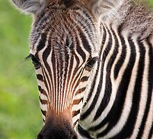 Zebra Foal by Scott Carr