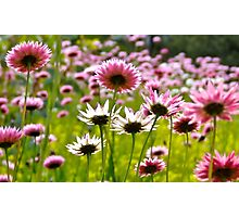 Everlastings or Paper Daisy's Photographic Print